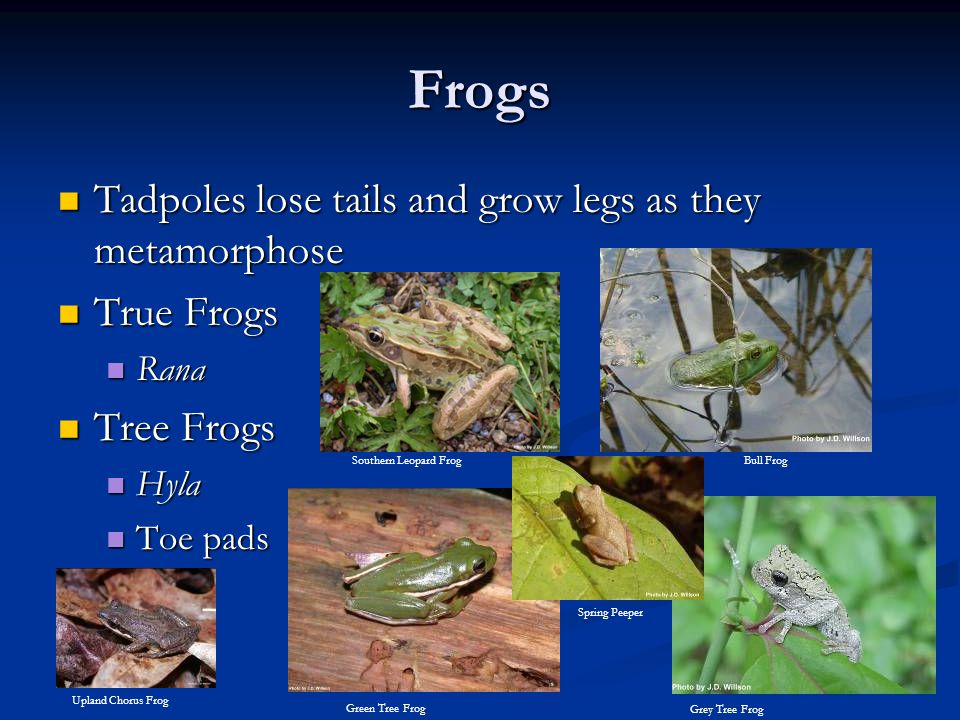 Frogs Tadpoles lose tails and grow legs as they metamorphose