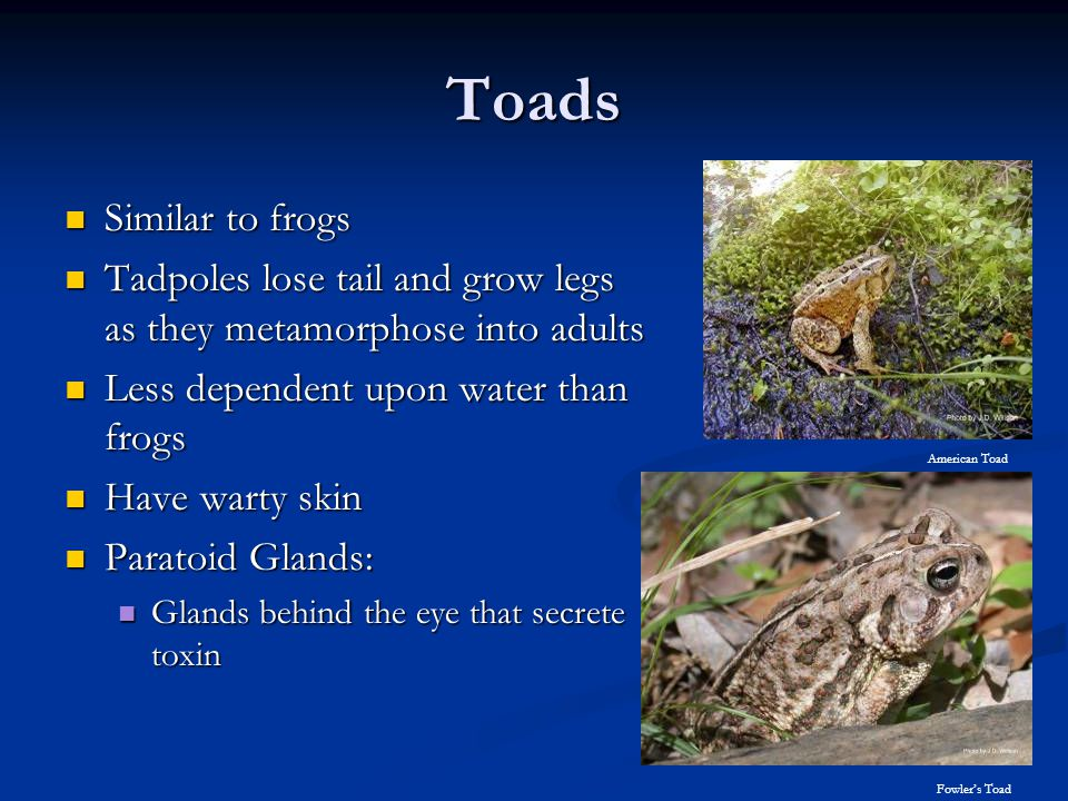 Toads Fowler's Toad. Similar to frogs. Tadpoles lose tail and grow legs as they metamorphose into adults.