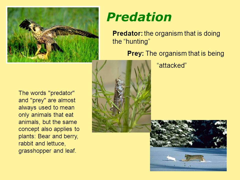 Predation Predator: the organism that is doing the hunting