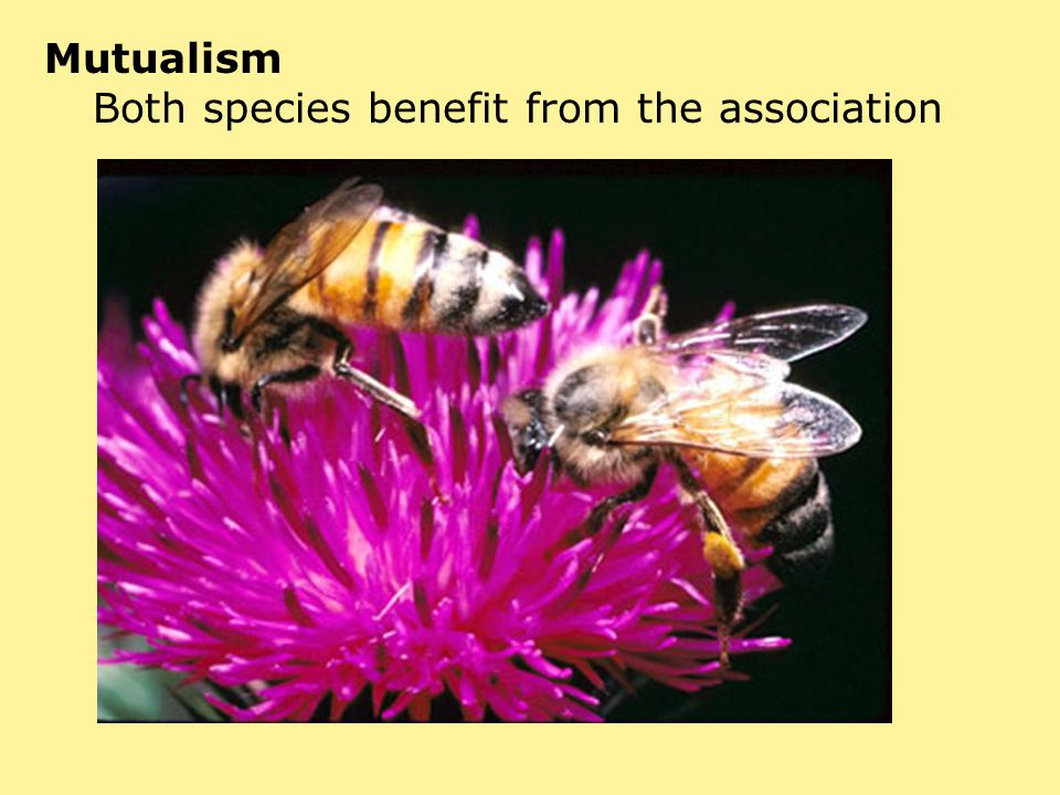 Mutualism Both species benefit from the association