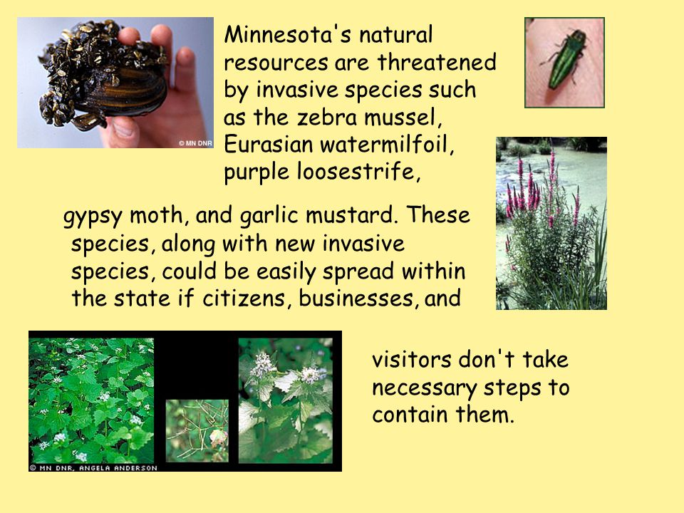 Minnesota s natural resources are threatened by invasive species such as the zebra mussel, Eurasian watermilfoil, purple loosestrife,