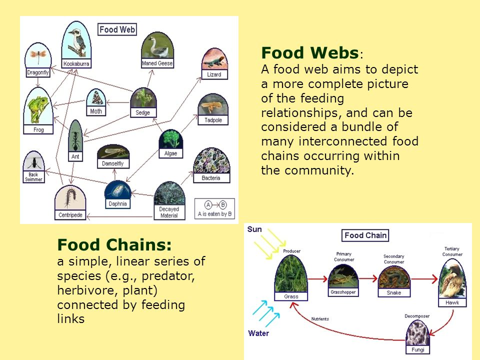 Food Webs: Food Chains: