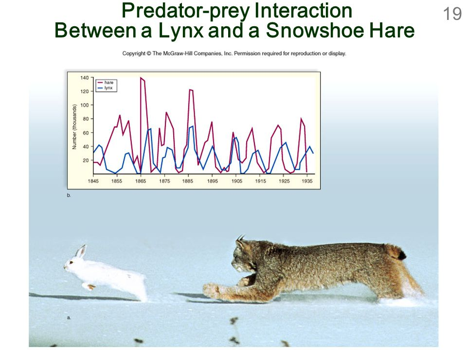 Predator-prey Interaction Between a Lynx and a Snowshoe Hare