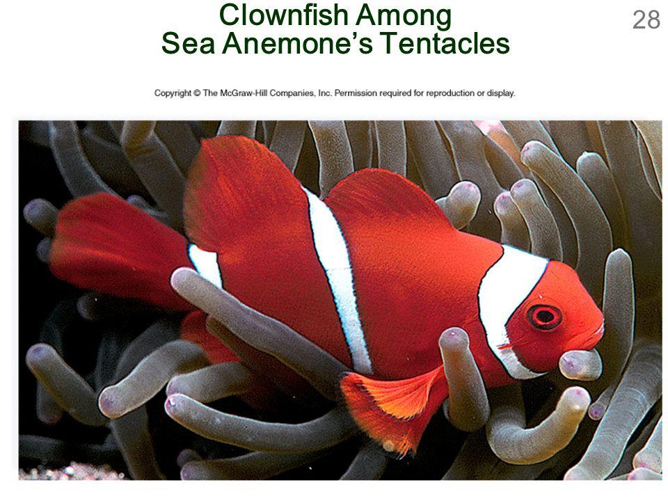 Clownfish Among Sea Anemone's Tentacles