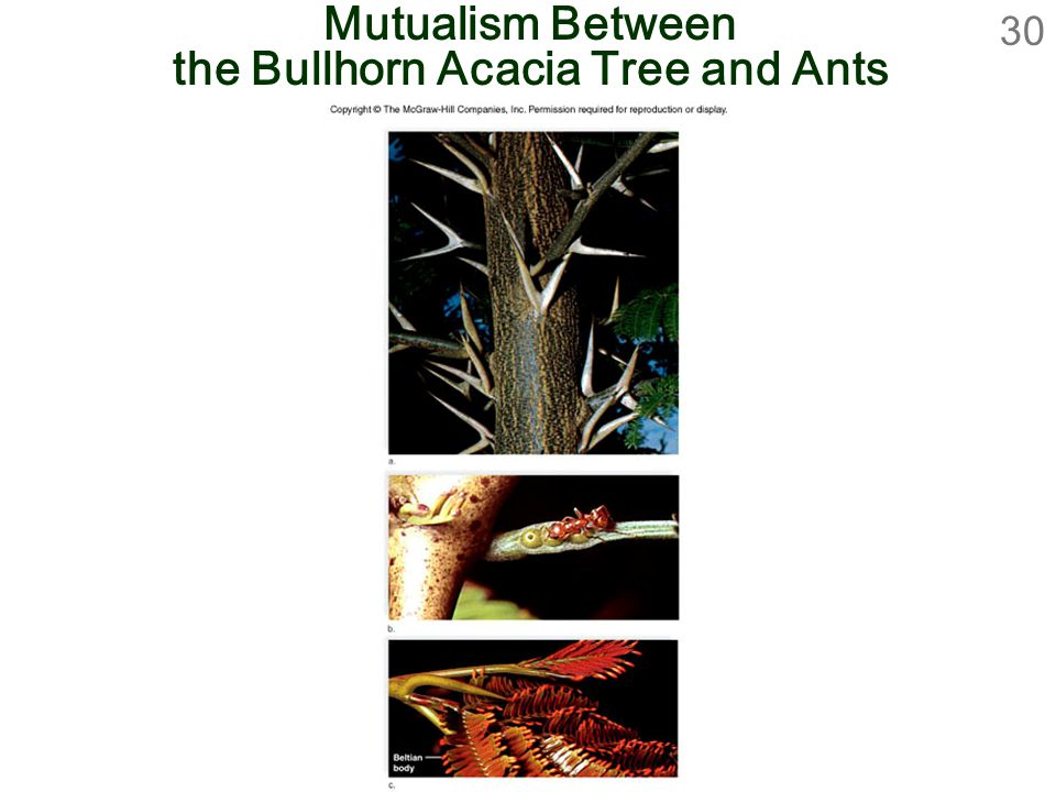 Mutualism Between the Bullhorn Acacia Tree and Ants