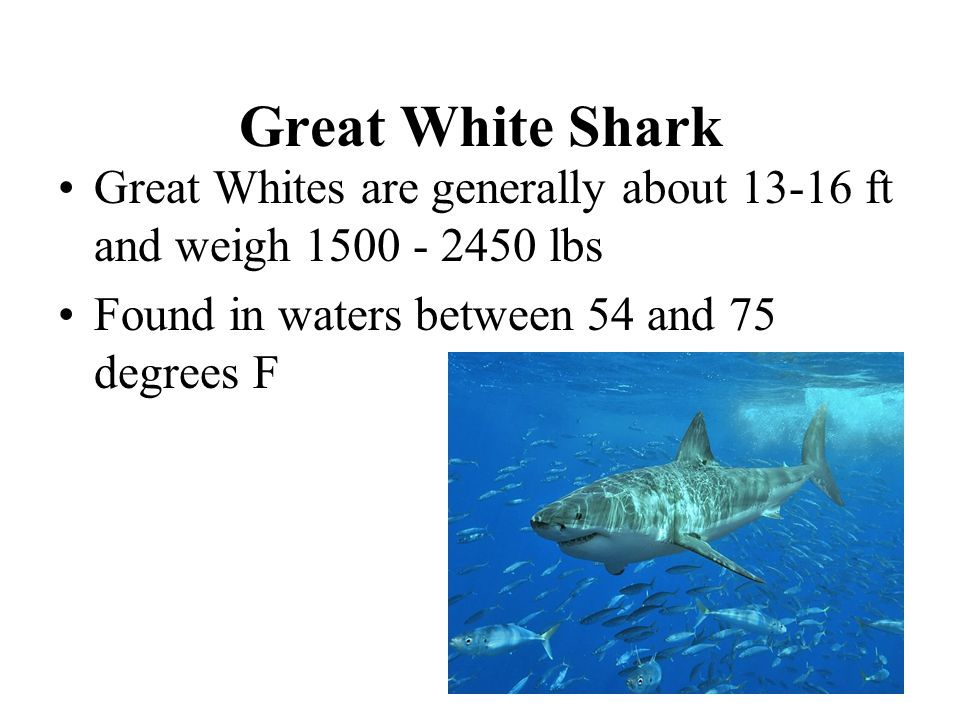 Great White Shark Great Whites are generally about 13-16 ft and weigh 1500 - 2450 lbs.