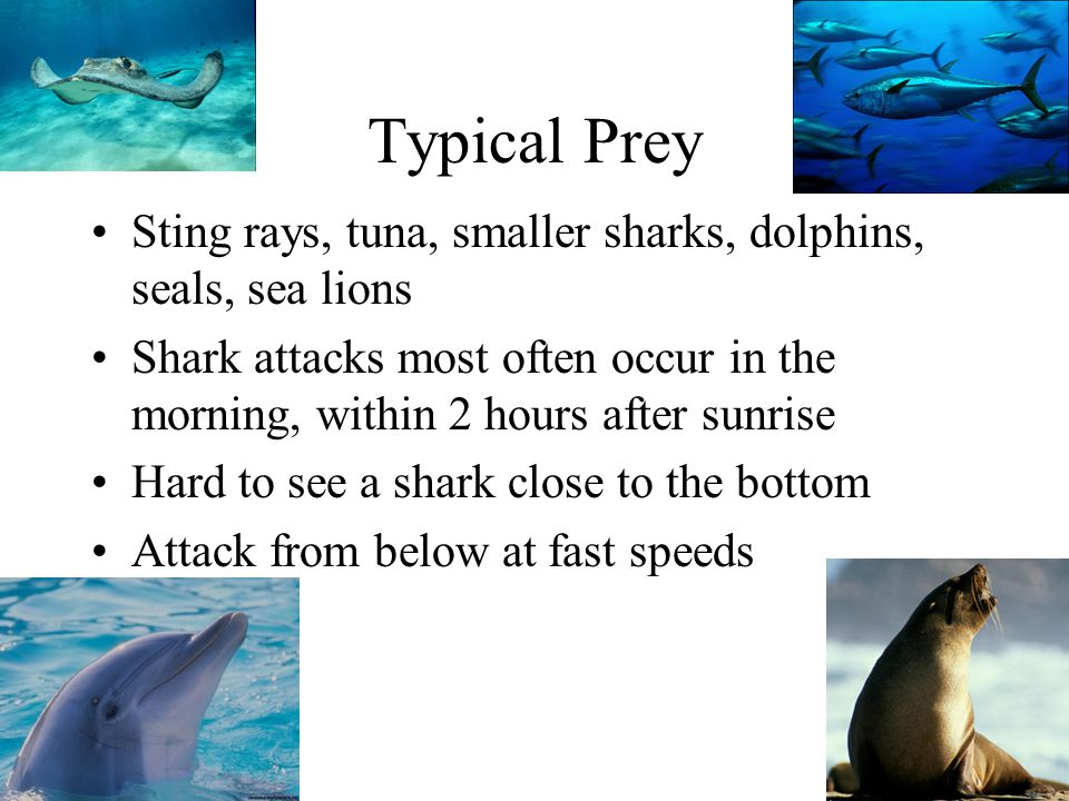 Typical Prey Sting rays, tuna, smaller sharks, dolphins, seals, sea lions.