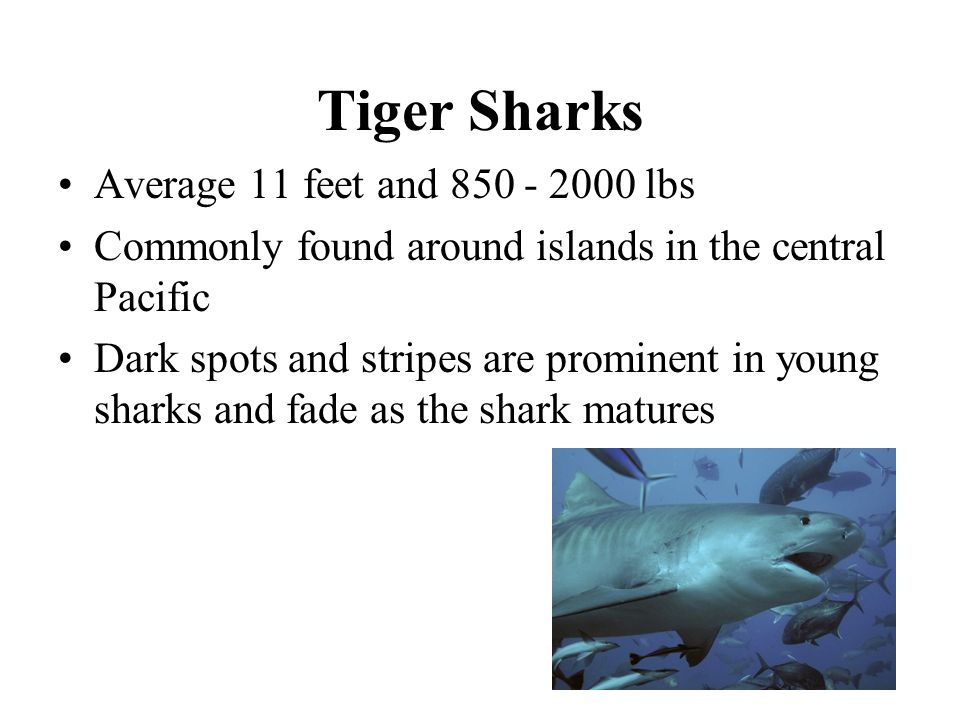 Tiger Sharks Average 11 feet and lbs