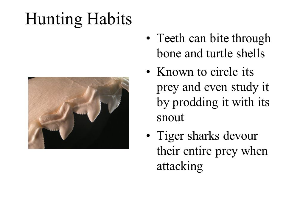 Hunting Habits Teeth can bite through bone and turtle shells