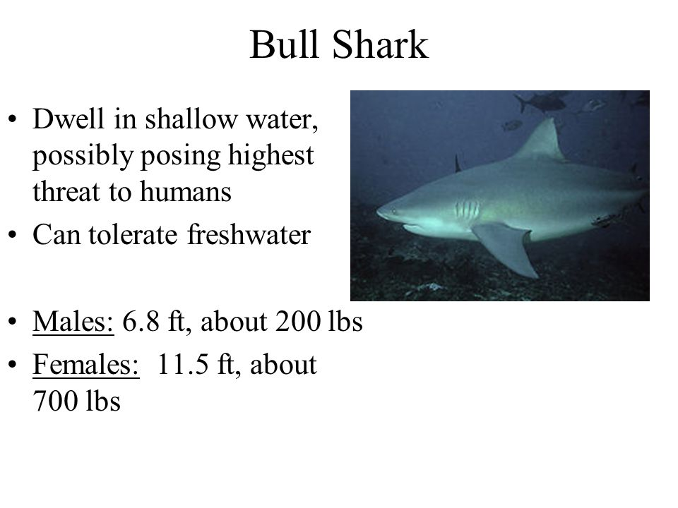 Bull Shark Dwell in shallow water, possibly posing highest threat to humans. Can tolerate freshwater.