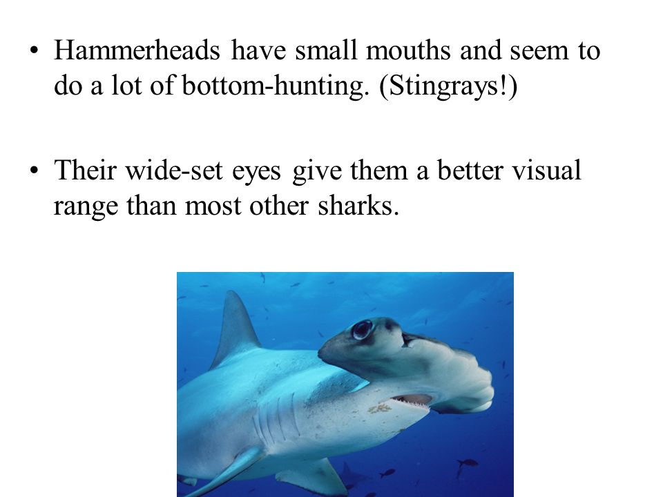 Hammerheads have small mouths and seem to do a lot of bottom-hunting