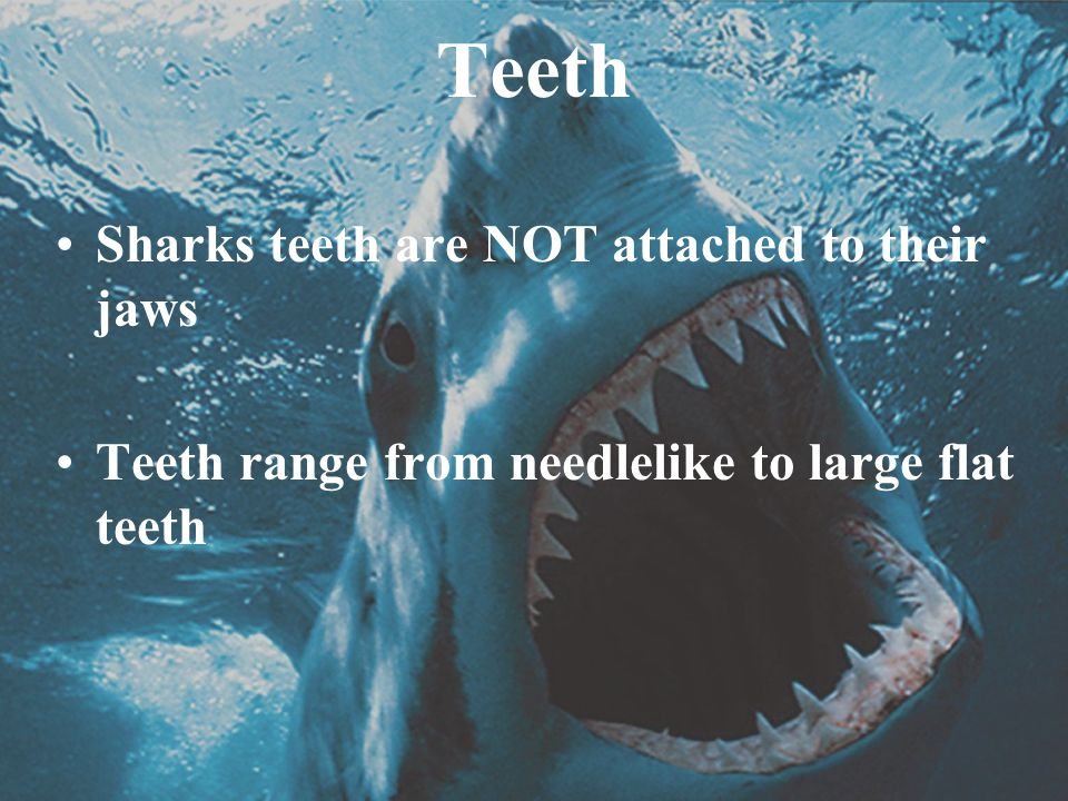 Teeth Sharks teeth are NOT attached to their jaws