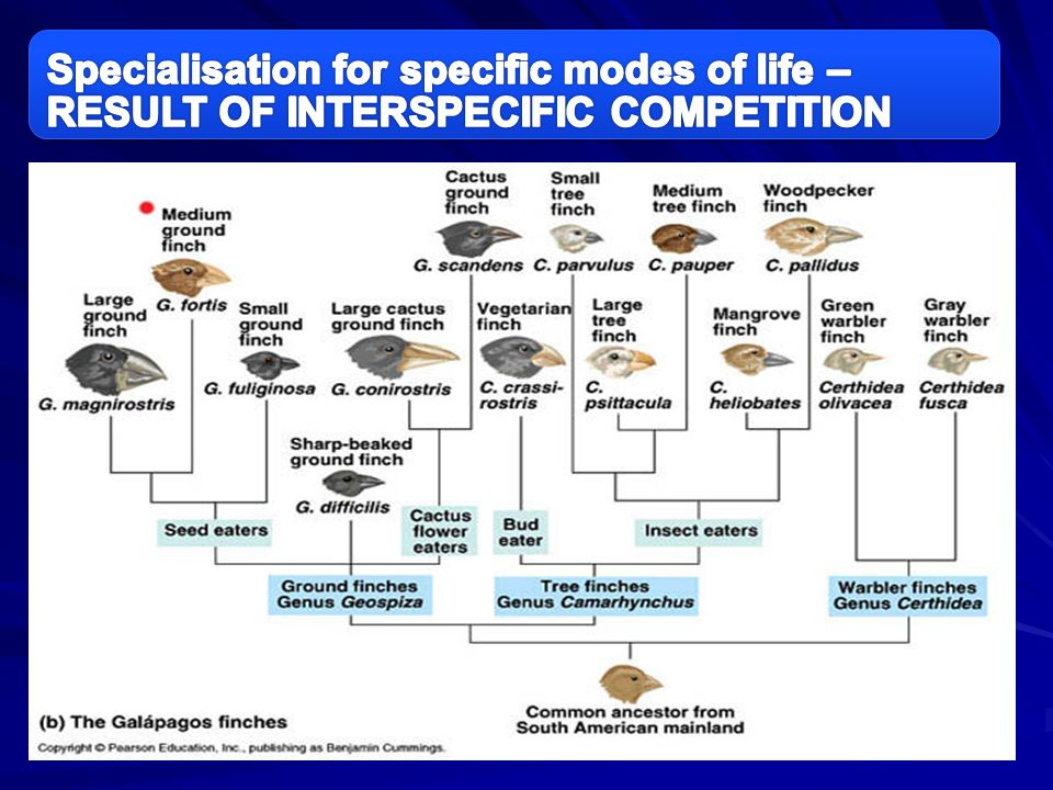 Specialisation for specific modes of life – RESULT OF INTERSPECIFIC COMPETITION