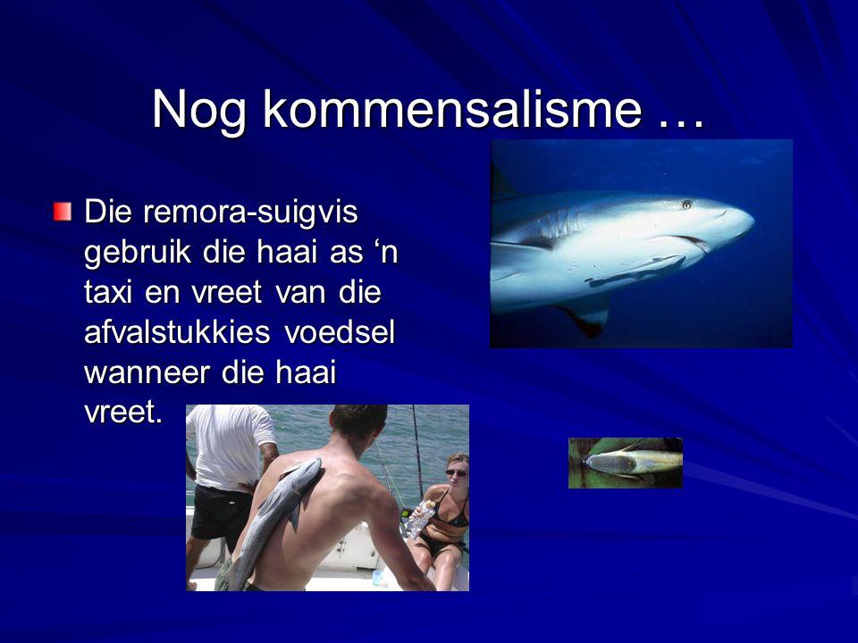 Nog kommensalisme … Die remora-suigvis gebruik die haai as 'n taxi en vreet van die afvalstukkies voedsel wanneer die haai vreet.