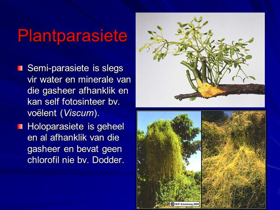 Plantparasiete Semi-parasiete is slegs vir water en minerale van die gasheer afhanklik en kan self fotosinteer bv. voëlent (Viscum).