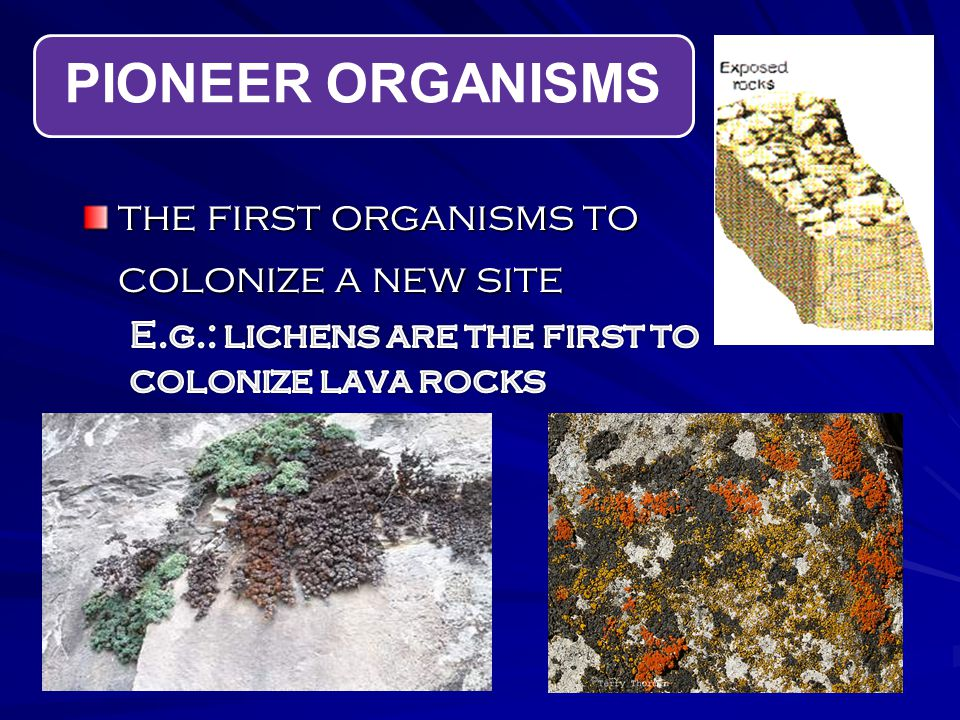 PIONEER ORGANISMS the first organisms to colonize a new site