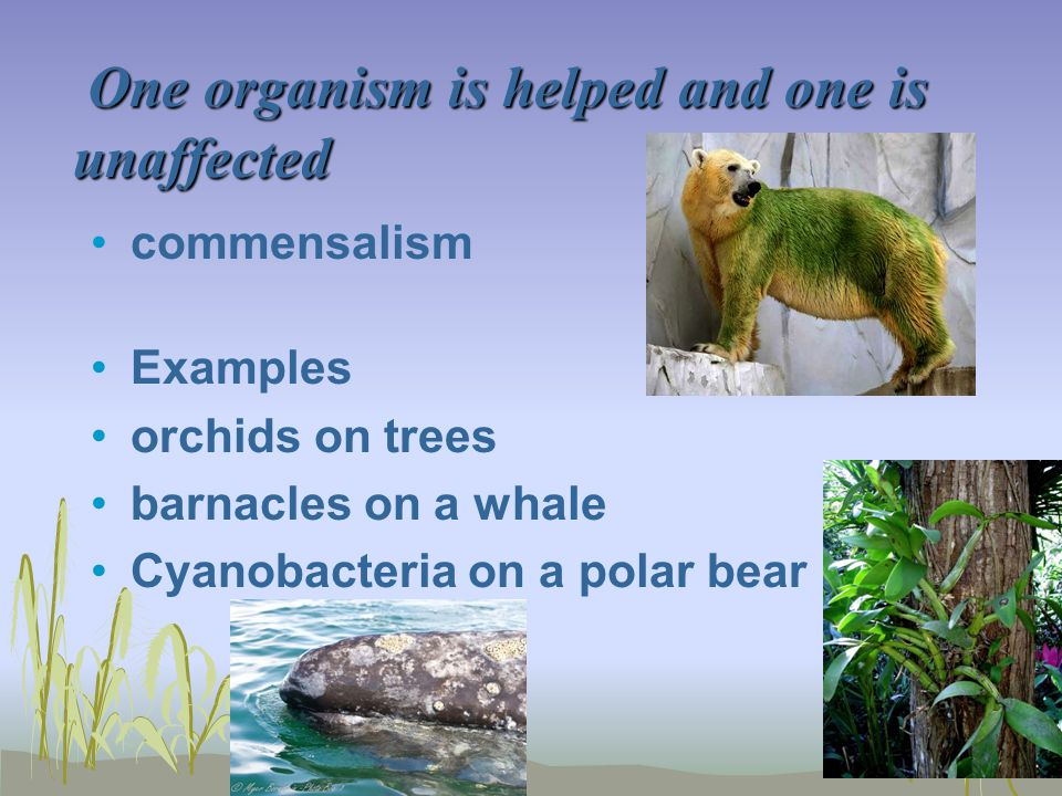 One organism is helped and one is unaffected