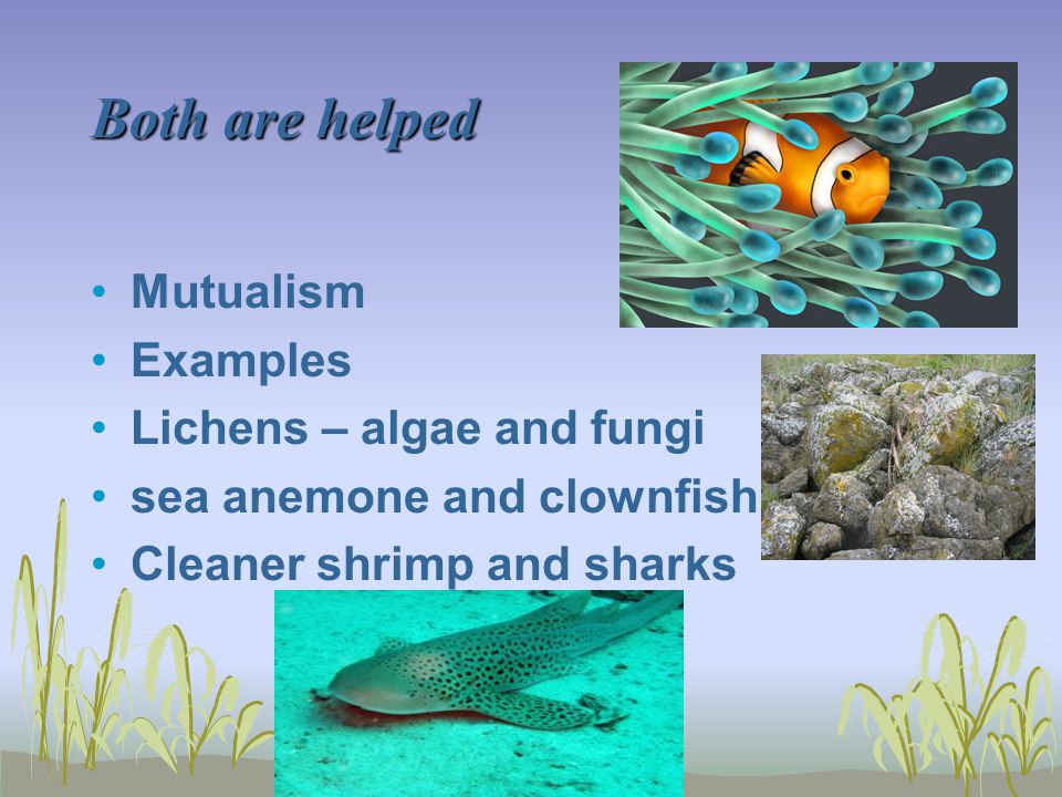Both are helped Mutualism Examples Lichens – algae and fungi