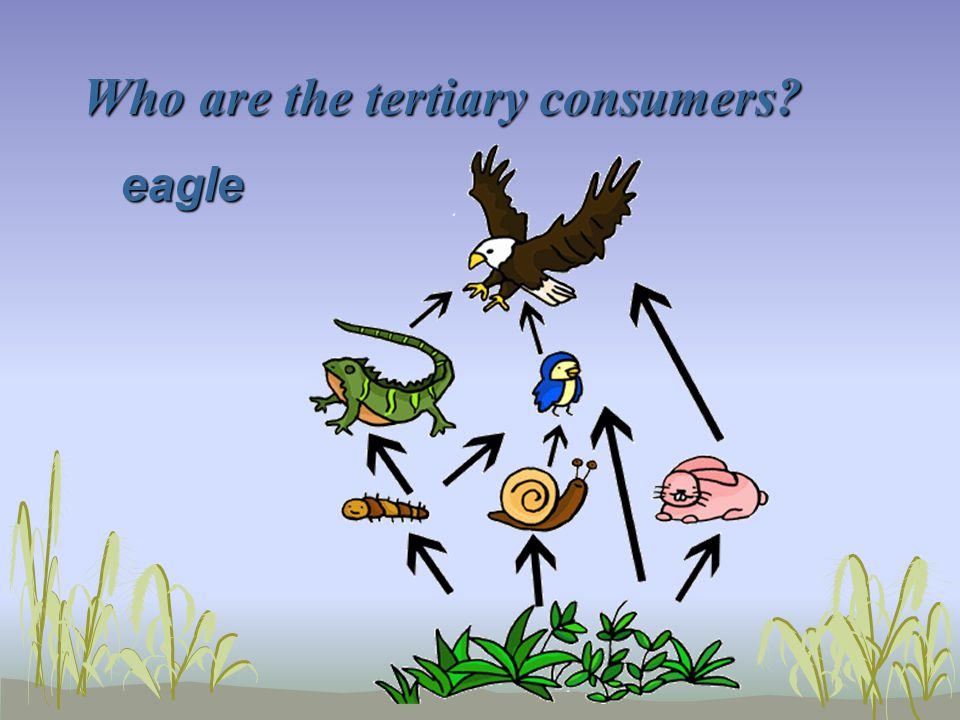 Who are the tertiary consumers