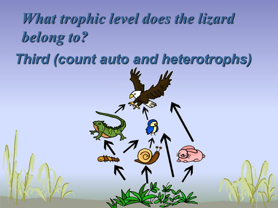 What trophic level does the lizard belong to