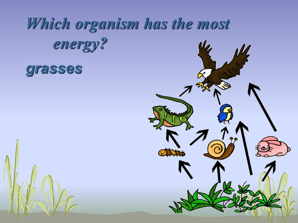 Which organism has the most energy