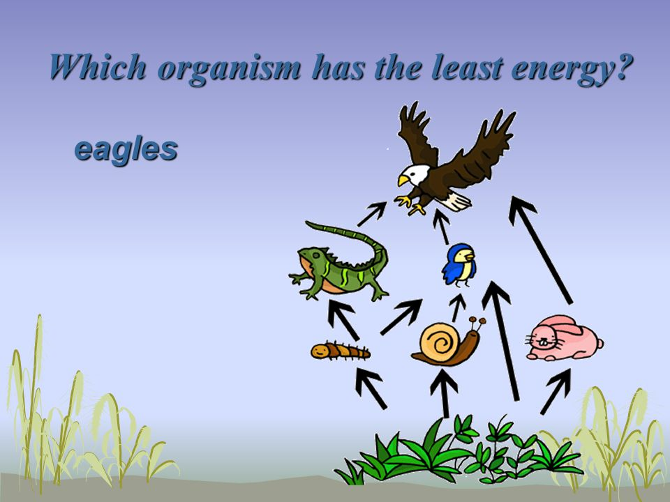 Which organism has the least energy