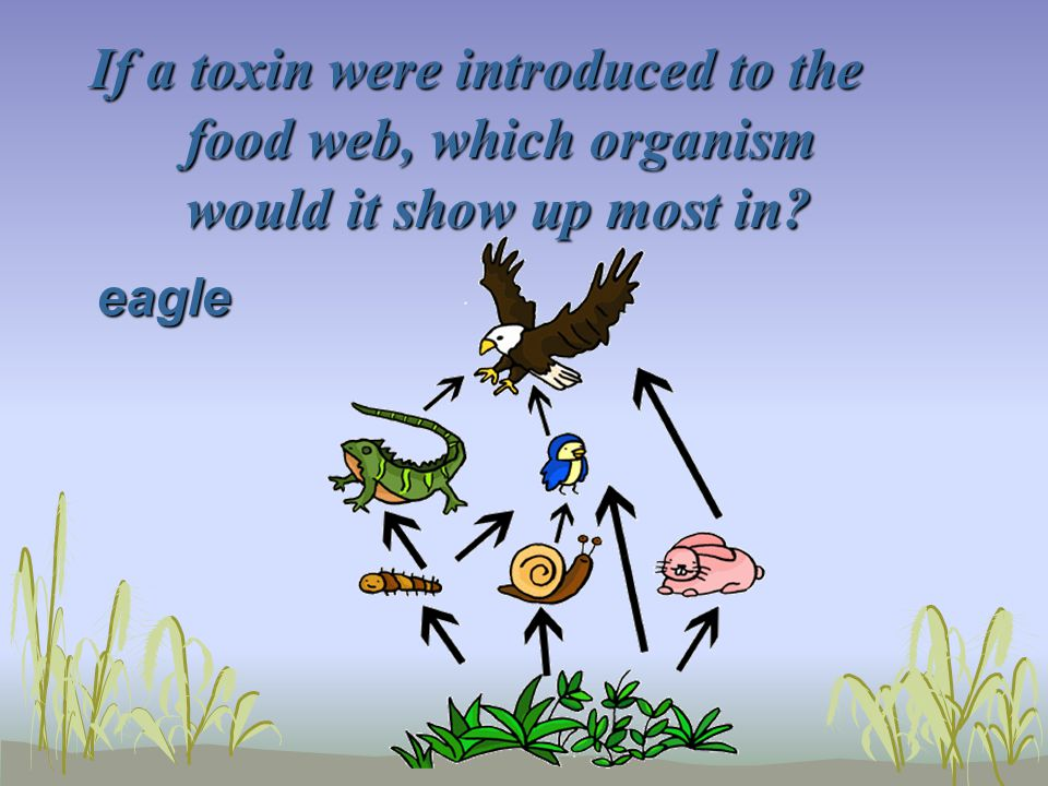 If a toxin were introduced to the food web, which organism would it show up most in