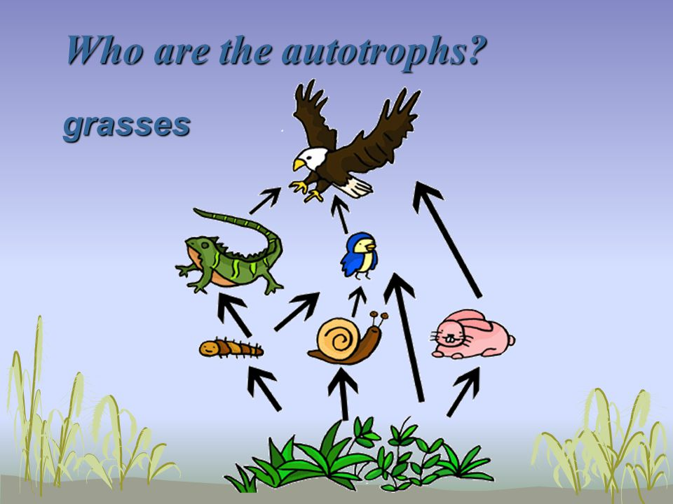 Who are the autotrophs grasses
