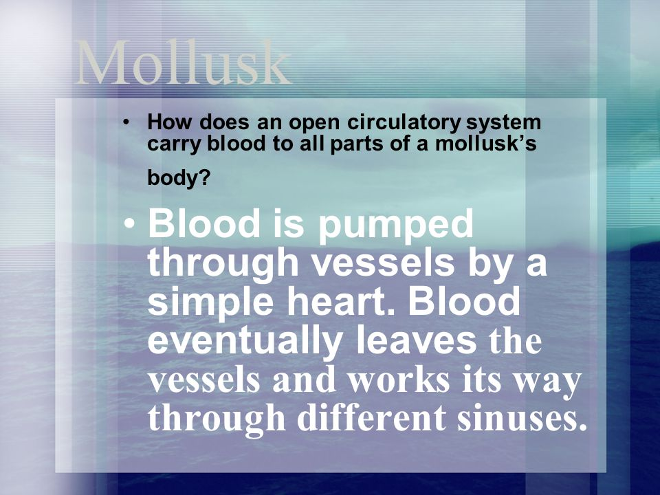Mollusk How does an open circulatory system carry blood to all parts of a mollusk's body