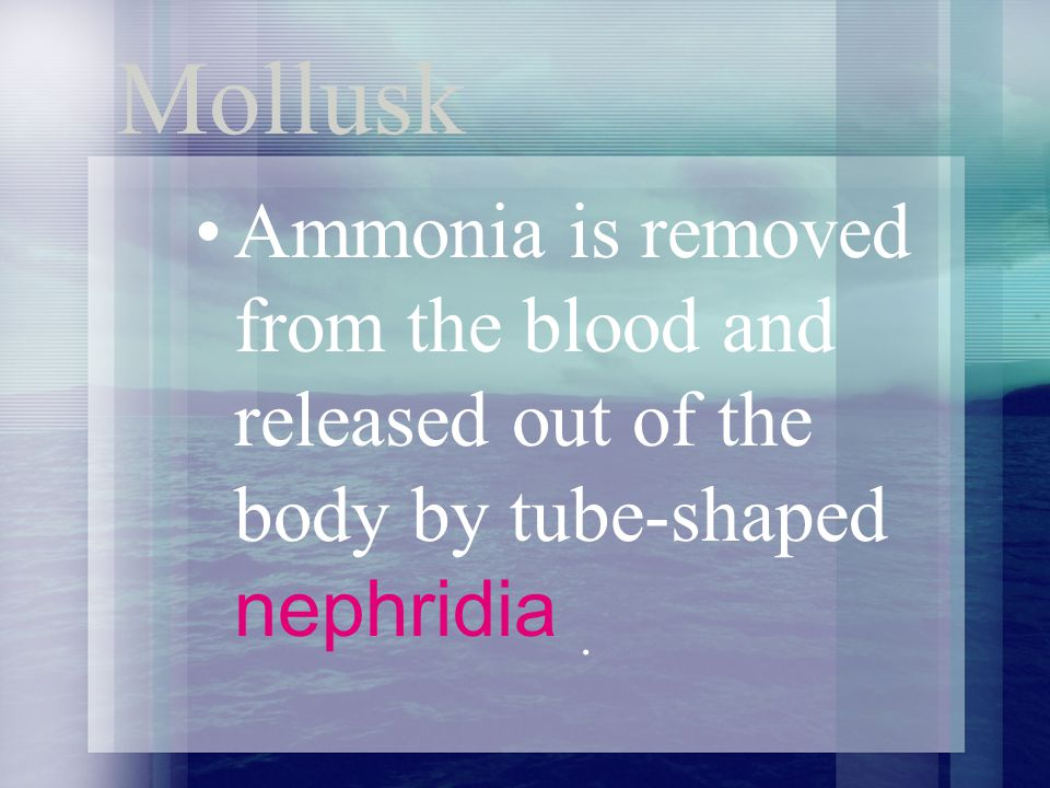 Mollusk Ammonia is removed from the blood and released out of the body by tube-shaped nephridia .