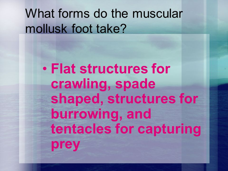 What forms do the muscular mollusk foot take