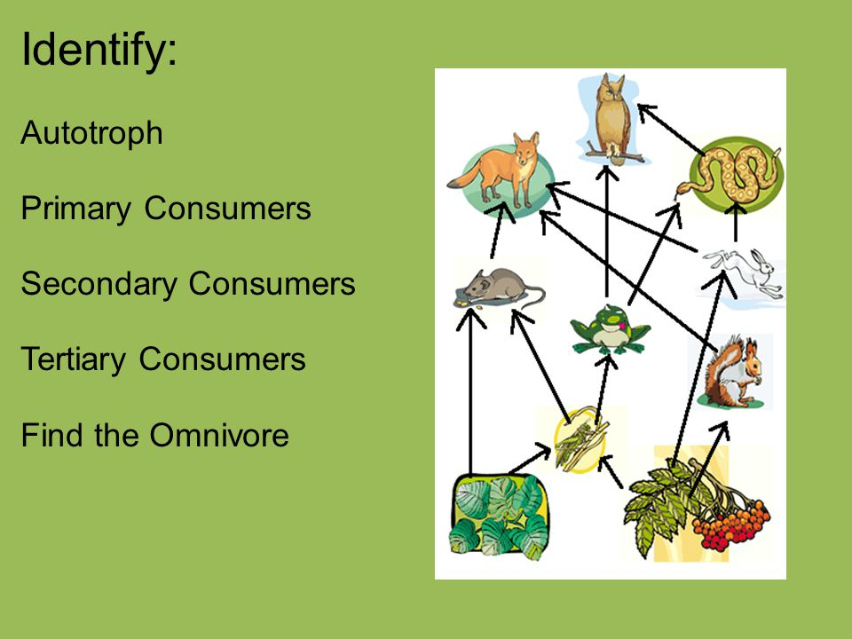 Identify: Autotroph Primary Consumers Secondary Consumers Tertiary Consumers Find the Omnivore
