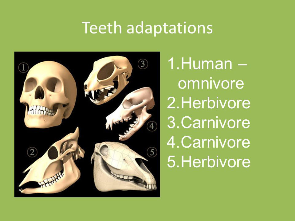 Teeth adaptations Human – omnivore Herbivore Carnivore