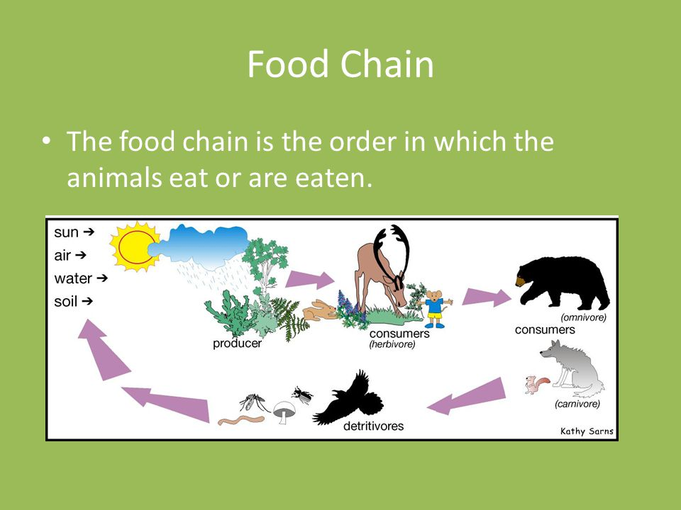 Food Chain The food chain is the order in which the animals eat or are eaten.