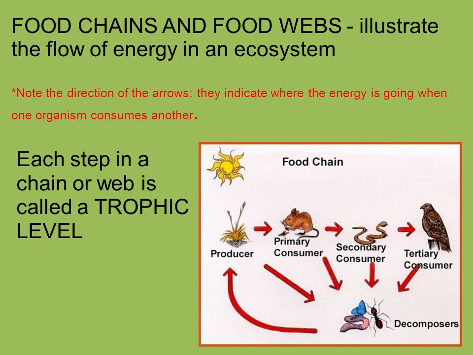 FOOD CHAINS AND FOOD WEBS - illustrate the flow of energy in an ecosystem *Note the direction of the arrows: they indicate where the energy is going when one organism consumes another.