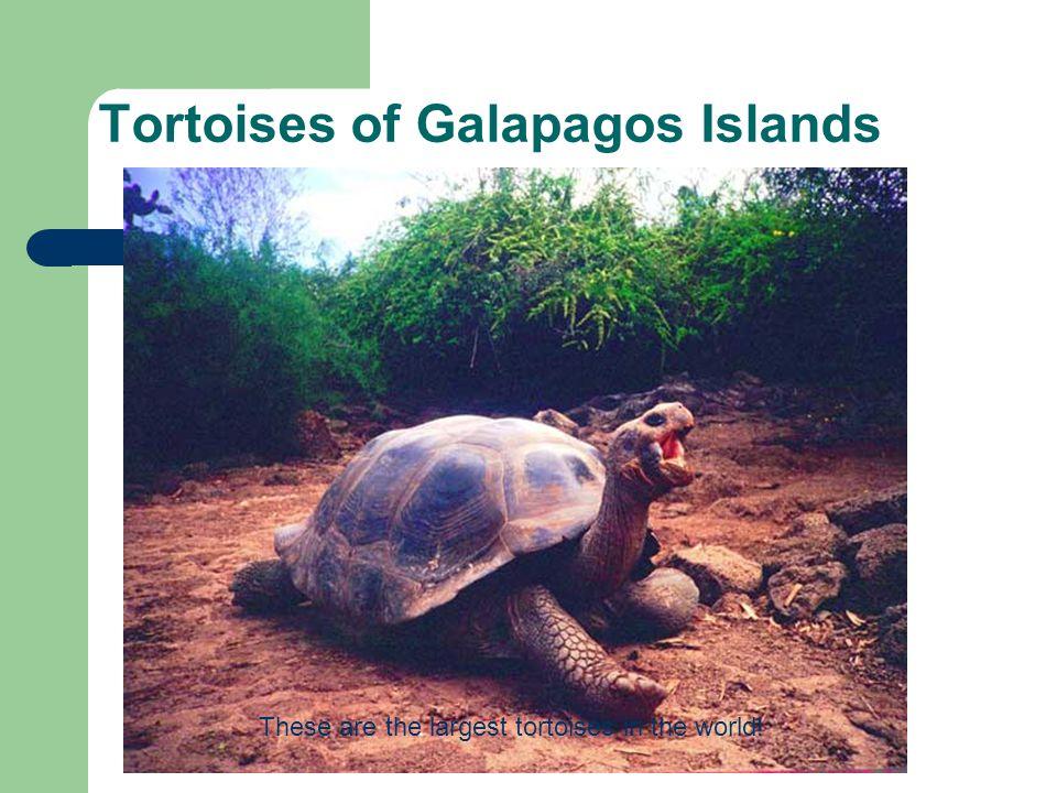 Tortoises of Galapagos Islands