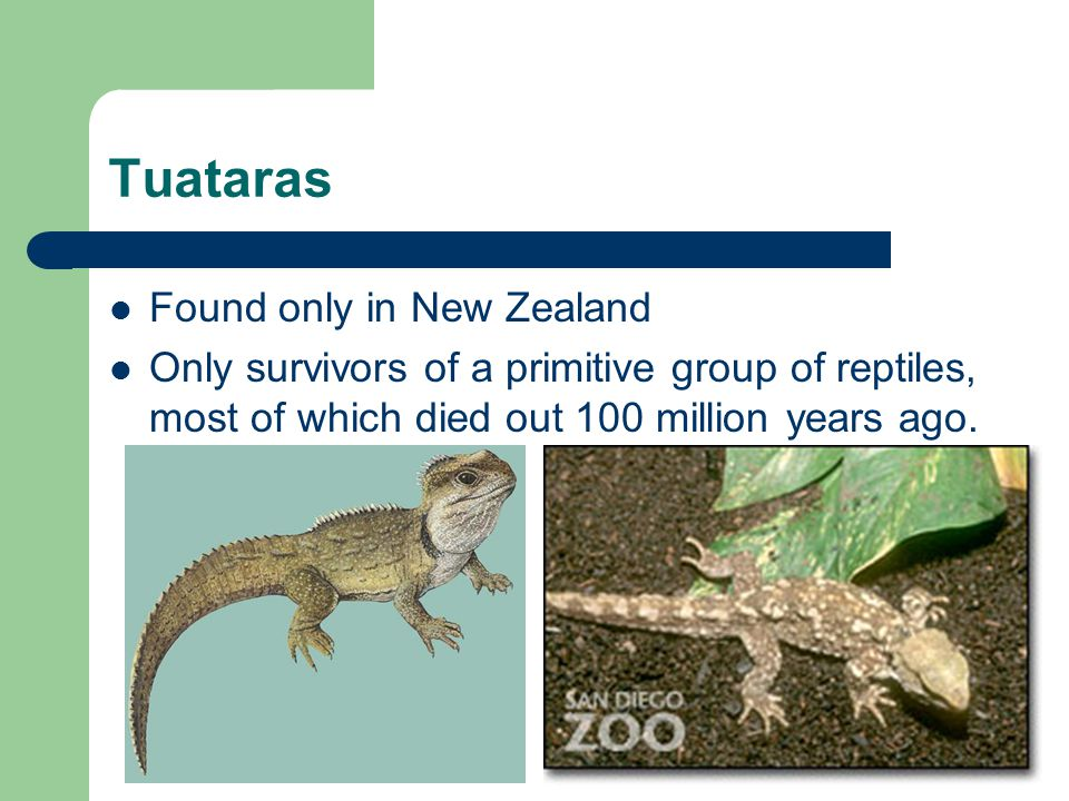 Tuataras Found only in New Zealand