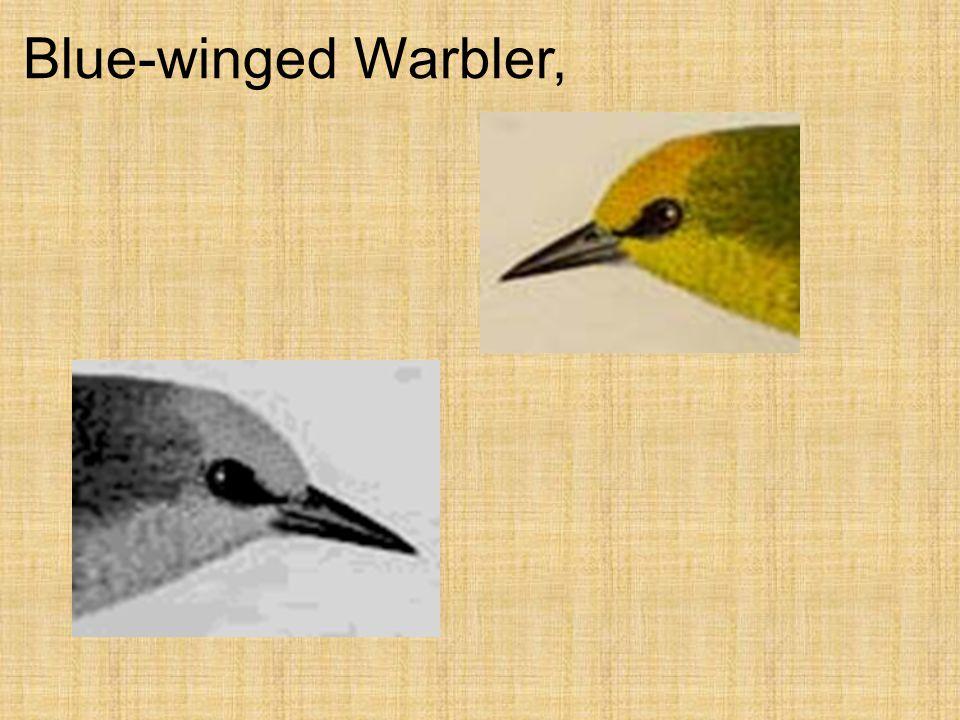Blue-winged Warbler,