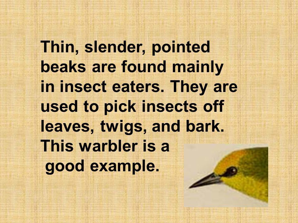 Thin, slender, pointed beaks are found mainly in insect eaters