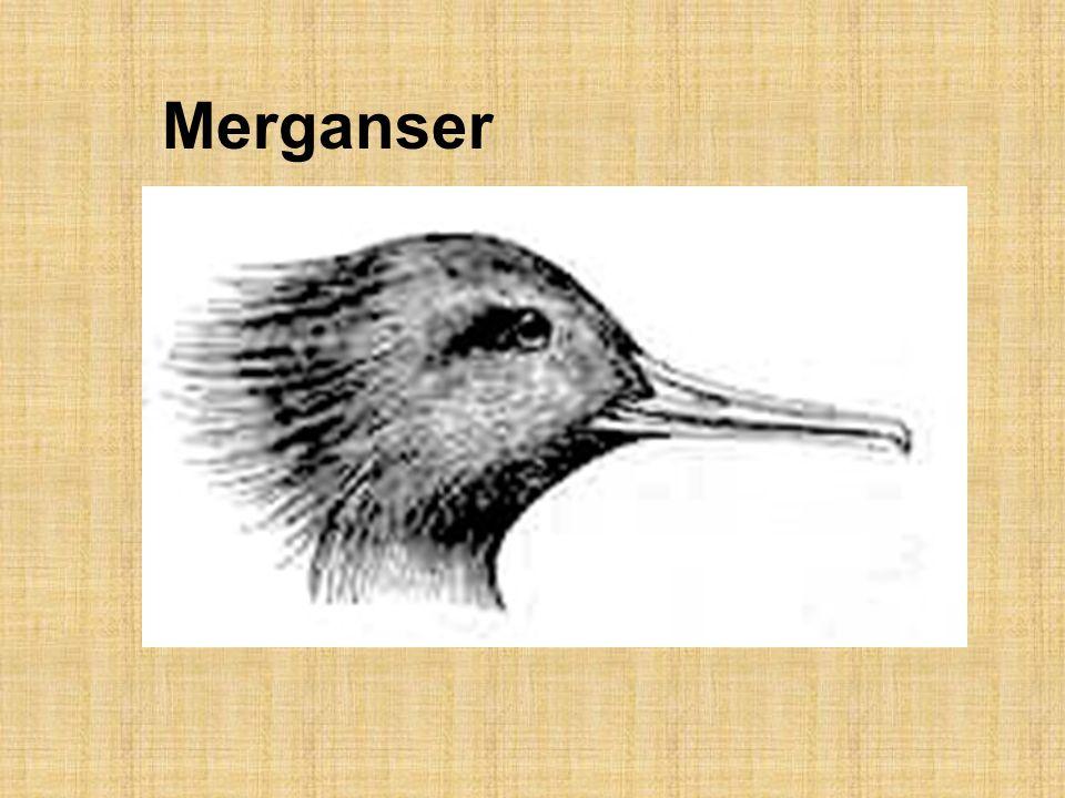 Merganser