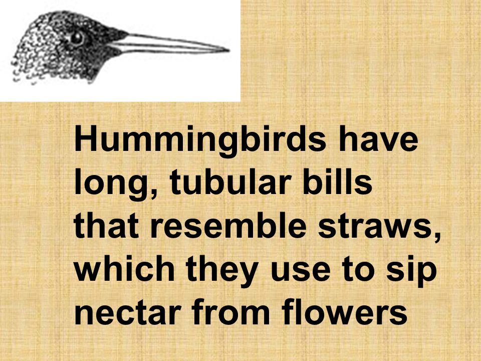 Hummingbirds have long, tubular bills that resemble straws, which they use to sip nectar from flowers