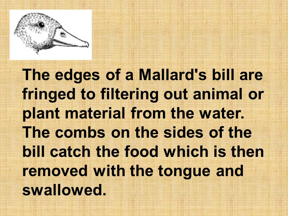 The edges of a Mallard s bill are fringed to filtering out animal or plant material from the water.