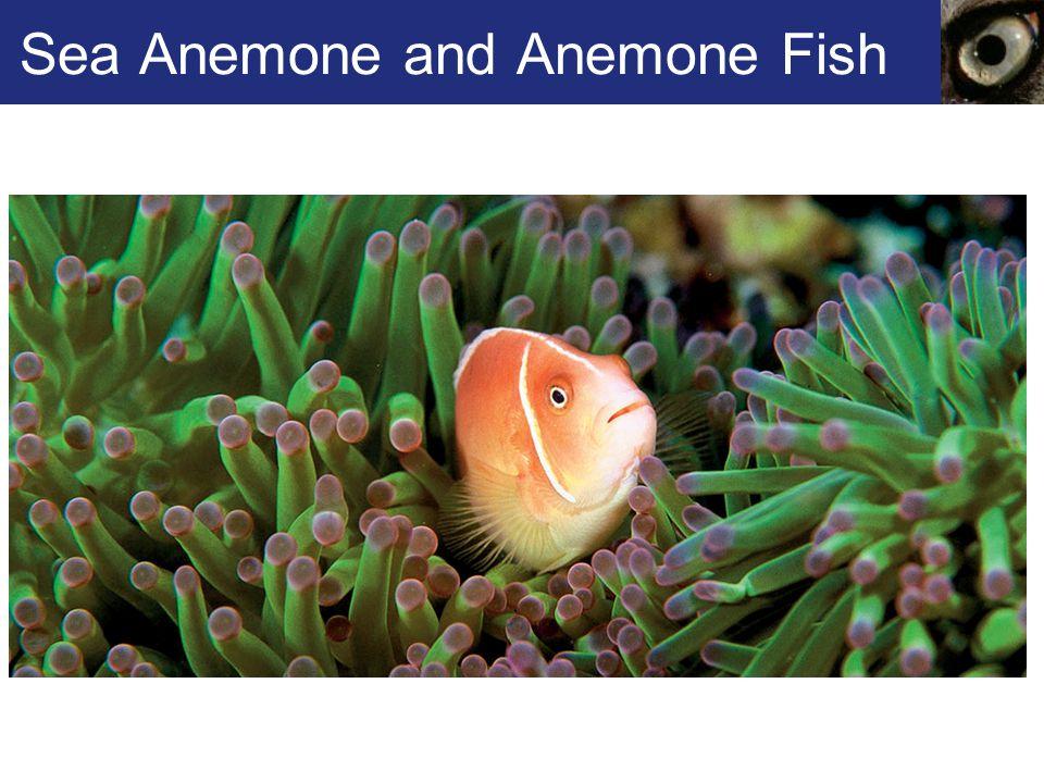Sea Anemone and Anemone Fish