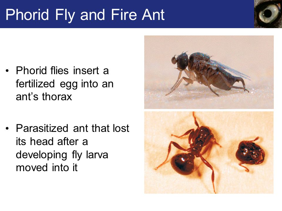 Phorid Fly and Fire Ant Phorid flies insert a fertilized egg into an ant's thorax.