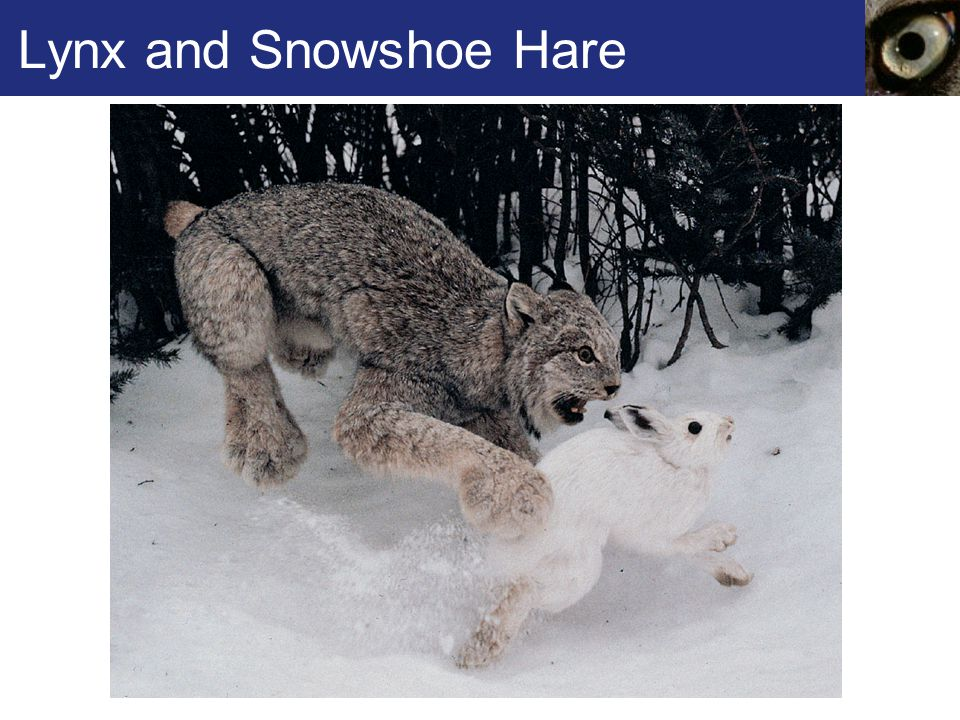 Lynx and Snowshoe Hare