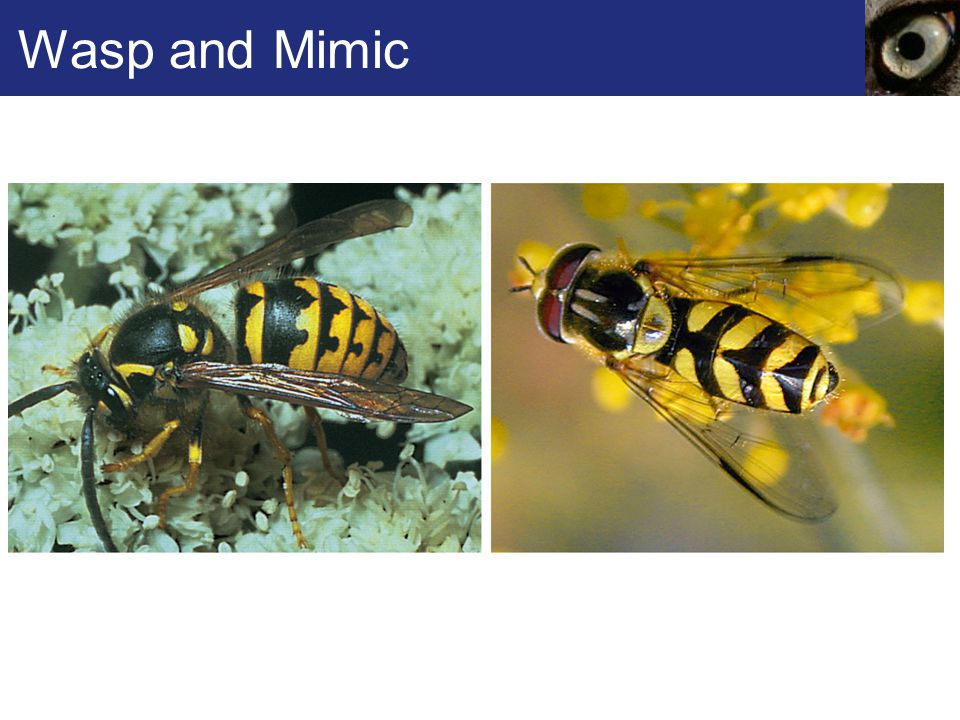 Wasp and Mimic Figure 41.9 Mimicry.