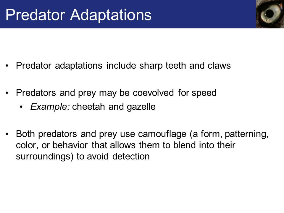 Predator Adaptations Predator adaptations include sharp teeth and claws. Predators and prey may be coevolved for speed.