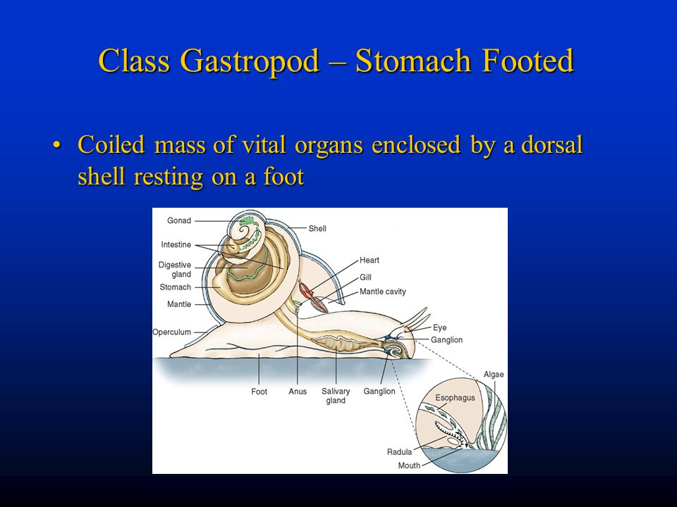 Class Gastropod – Stomach Footed