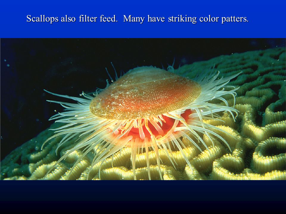 Scallops also filter feed. Many have striking color patters.