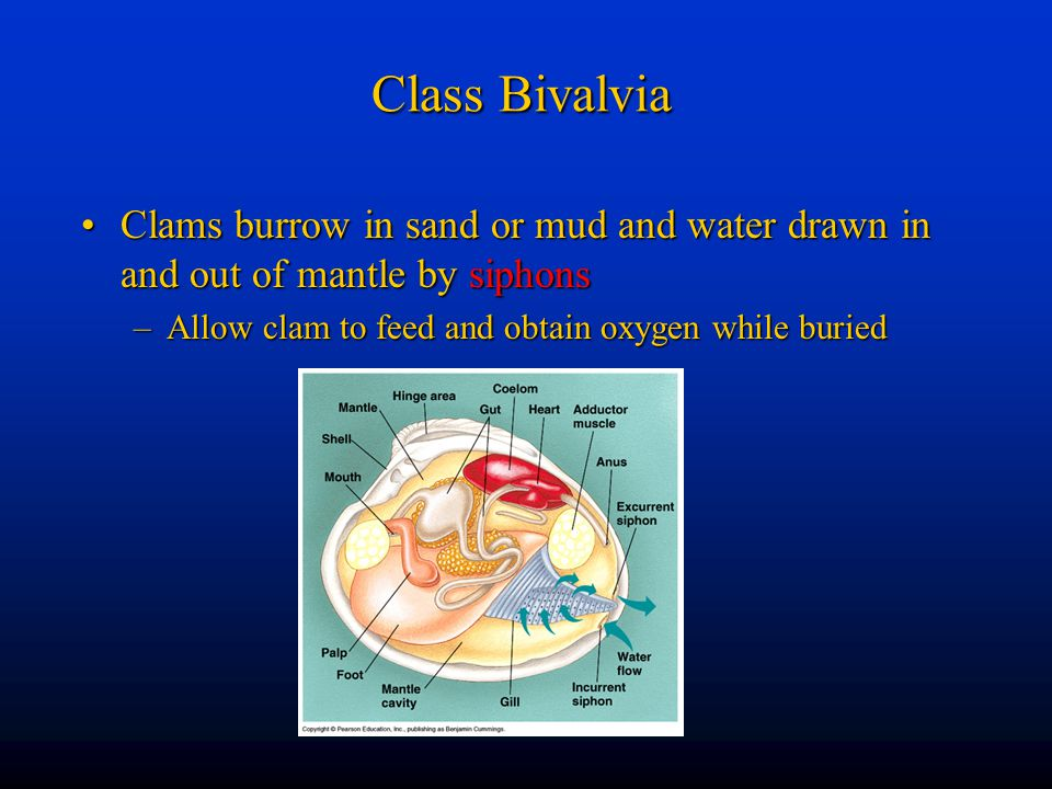 Class Bivalvia Clams burrow in sand or mud and water drawn in and out of mantle by siphons.